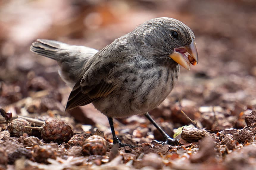 A tiny Galapaogos finch stands on red orange trail with a small brown seed between his beak