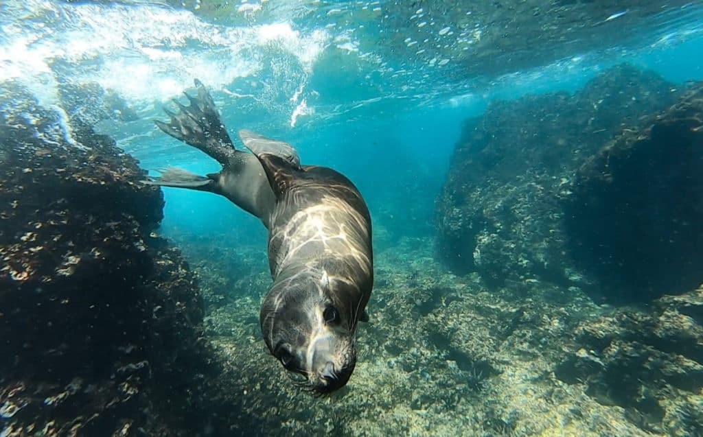 an underwater shot of a sea lion swimming directly at the camera in teal green clear waters