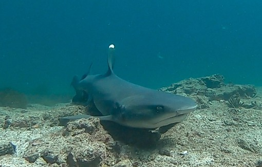 underwater shot at the floor of the ocean a Galapagos shark swims towards the camera