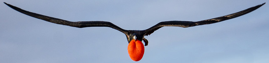 Galapagos frigate bird flying directly at camera black long wings and a bright red puffed chest like a balloon