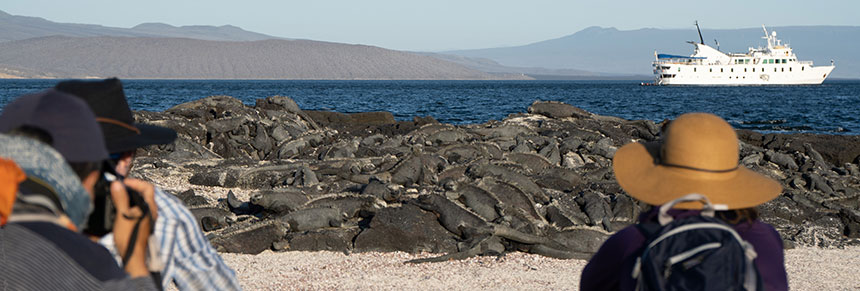 A group of Galapagos travelers kneeling on the beach photographing a massive group of marine iguanas sun bathing on rocks the dark skin of the iguanas camouflages thenm agains the black rocks you might miss them