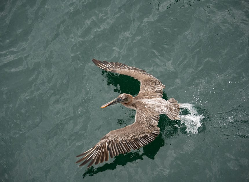 A Galapagos pelican opens its wings and takes flight from the water top