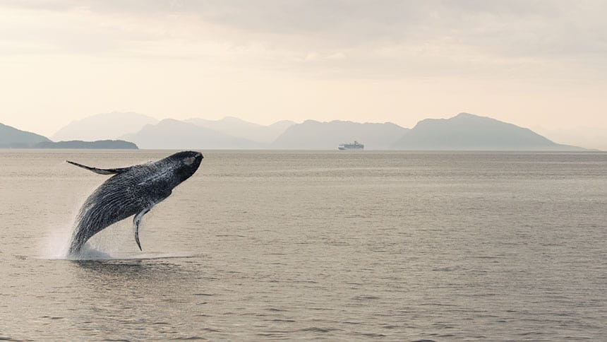 A humpback whale breaches in Alaska's Inside Passage with a gray sky, water and a ship sailing along the Tongass forest shoreline in the background