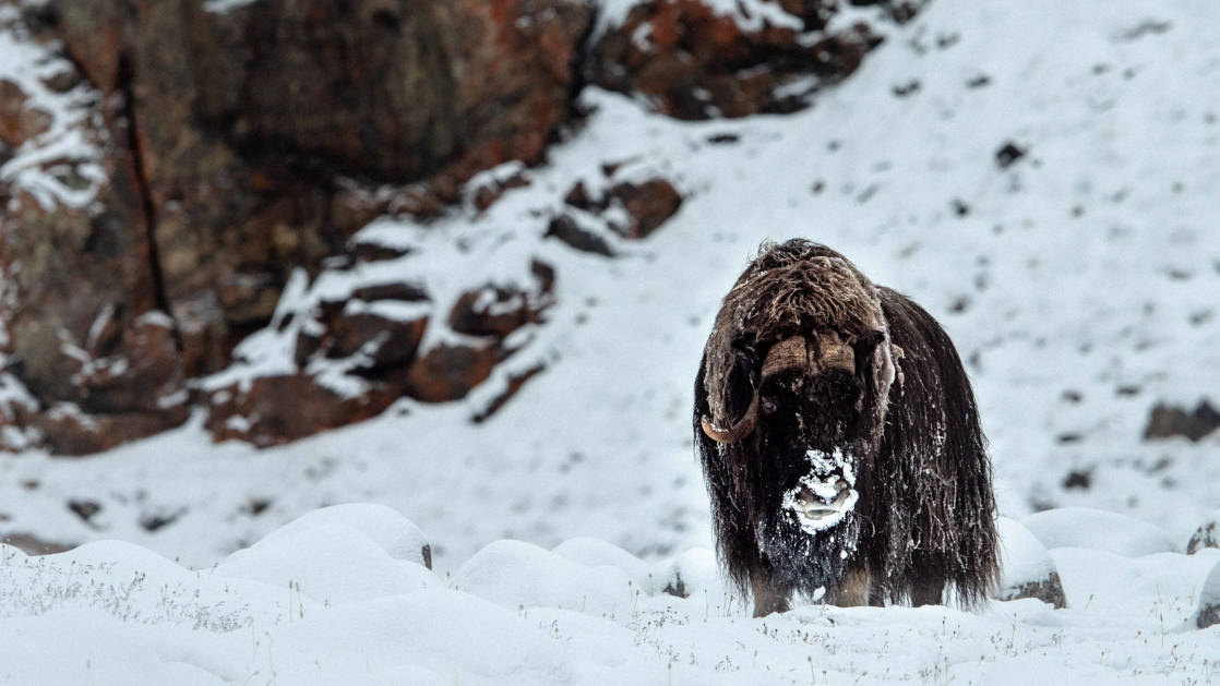 A muskox standing in the snow beside dark cliffs above, seen during The Northwest Passage Canadian High Arctic voyage.
