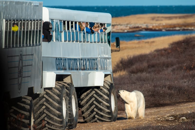 A group of travelers lean their heads out the windows of  Polar Rover a bus like off road vehicle with giant tires, as they try to take photographs of a polar bear walking right by the tires of the vehicle on a Classic polar bear adventure tour