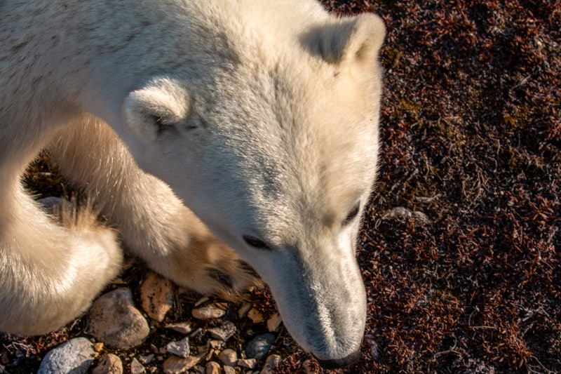 an up close photo of a white tan polar bear from above, the red orange fall colors of the arctic are seen under its paws. The photographer is standing elevated off the ground aboard the Polar Rover off-road vehicle safe from harm.