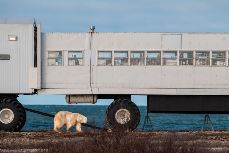 A large polar bear walks along the shore line in front of the 4 feet tall tires of a polar rover off-road bus, the horizon of the blue ocean is behind the vehicle and the bear in the Canadian Arctic on the classic polar bear adventure tour