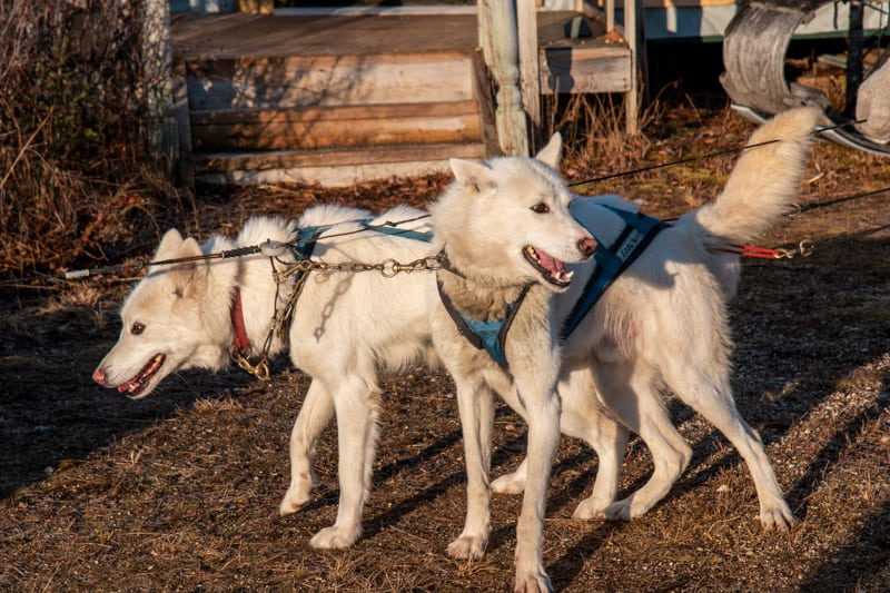 two white Siberian husky dogs are harnessed and ready to mush as part of a dog sledding activity on the classic polar bear adventure tour, they look excited and ready to run