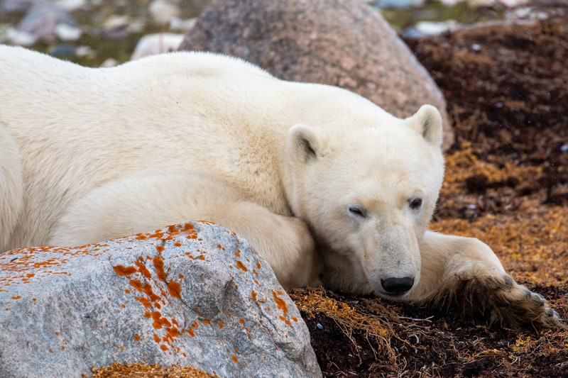 Taken on the Classic Polar Bear Adventure land tour, a large white polar bear with dark black button eyes and nose is photographed laying among rocks in the Canadian arctic, orange moss is dotted along the rocks, the ground is covered with orange yellow shrubs and deep brown dirt.