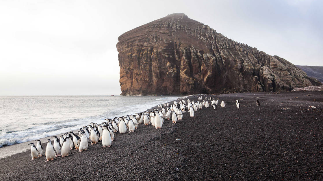 A line of penguins walks the beach on the Emblematic Antarctica small ship expedition.