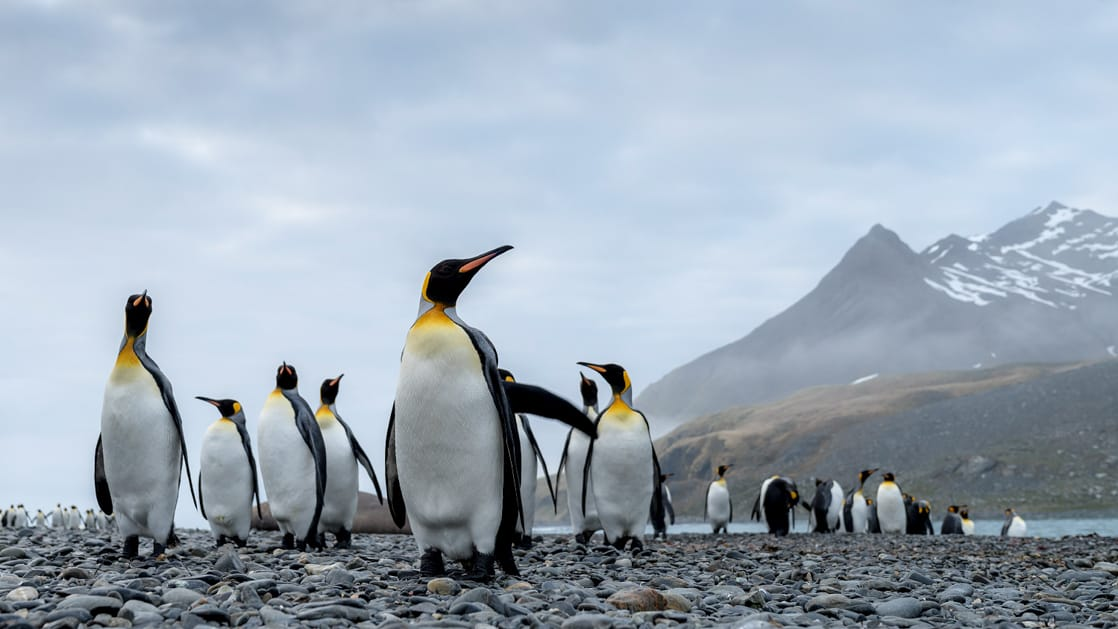 King penguins stand on a grey, rocky shoreline on a misty day during the Falkland Islands Air Cruise.