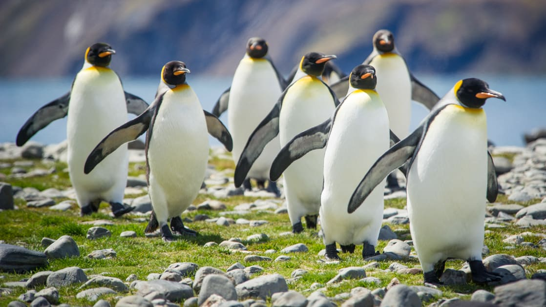 A group of king penguins walk over bright green grass & small stones during the Great Austral Loop luxury Antarctica voyage.