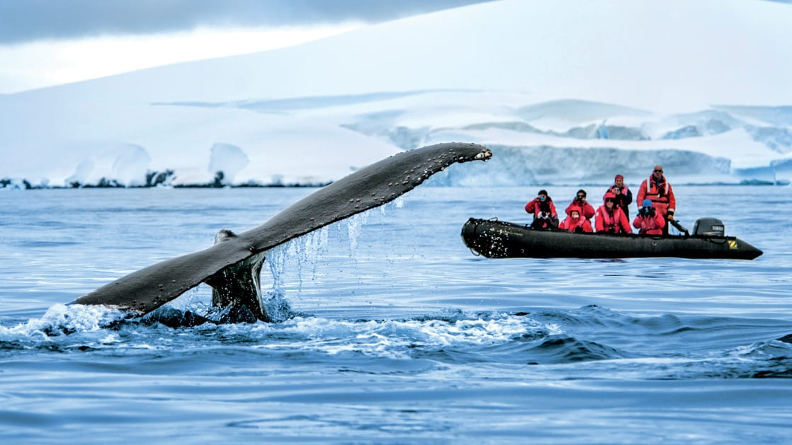 A Zodiac with polar travelers views a whale tail as it appears above water during the Great Austral Loop luxury Antarctica voyage.
