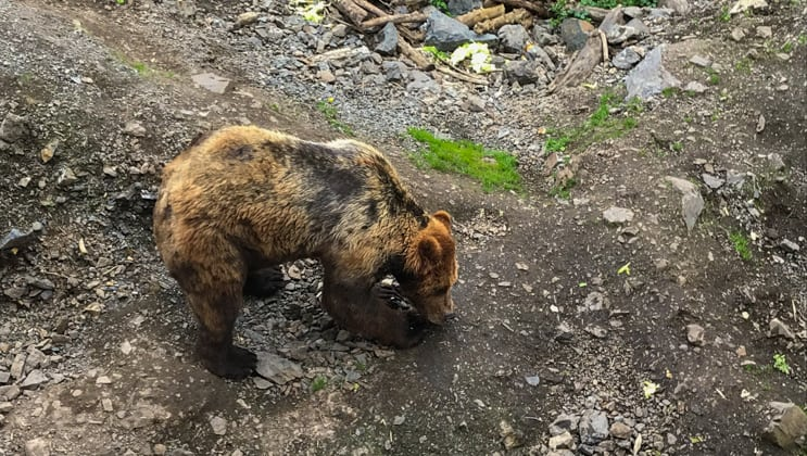 Second summer cub with cinnamon-&-black fur eats from the ground at Fortress of the Bear on the Remote Alaska Adventure small ship cruise.