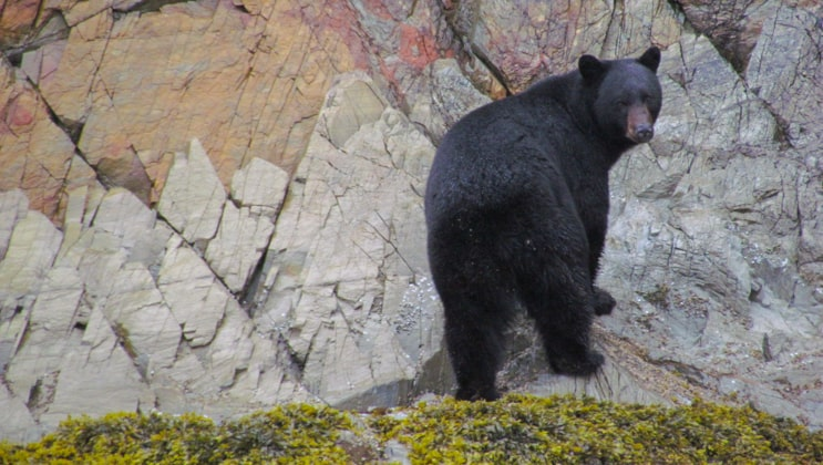 Black-fur bear looking back while approaching a multicolored rock face as seen on the Ultimate Glacier Bay, Wilderness & Wildlife Alaska small ship cruise.