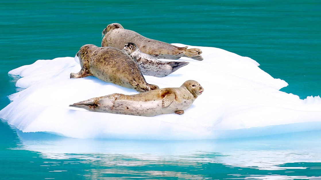 4 seals lay on a white iceberg that is floating in teal green water of Alaska. Seen from a small ship cruise in glacier bay.