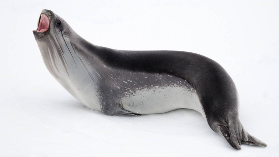 A sleek Ross Seal calls out in Taylor Valley, Dry Valleys, McMurdo Sound, during the Spectacular Ross Sea: West Antarctica Cruise.