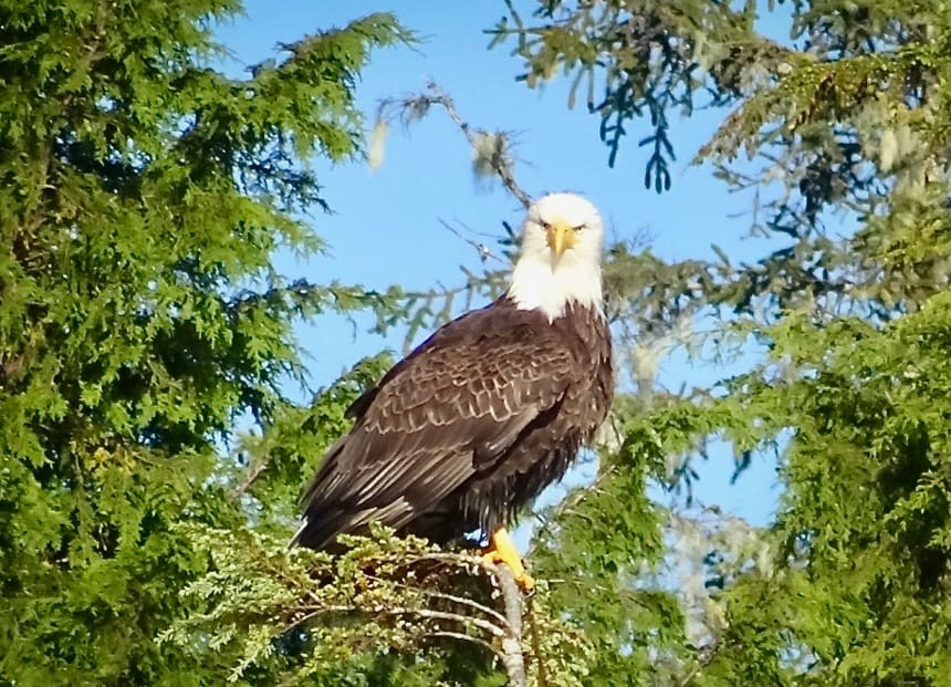 Seen from the Westward, a small cruise ship in Alaska, a Bald Eagle, brown feathered body, white head and yellow beak, stares straight at the camera as it sits in a green tree.