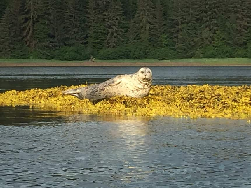 Seen from a kayaking excursion a harbor seal lays on top of a yellow algae-covered outcropping near the Westward Alaska small ship. behind it is the green grass of the shore with pine tree forest.