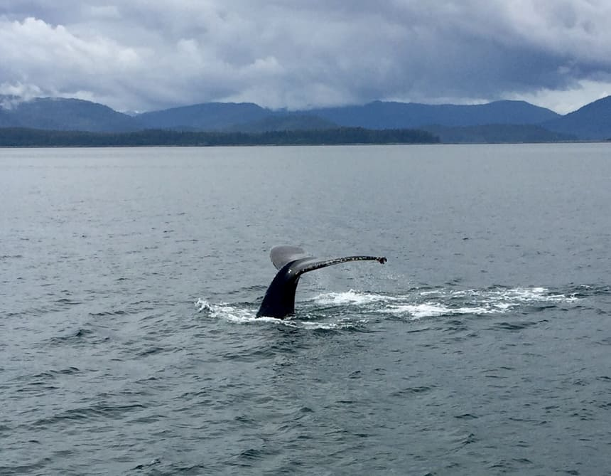 The take of a humpback whale as it dives down into the water of Alaska's Inside passage, seen from the Westward small ship. A mountain rage is in the background it is a darker cloudy day.