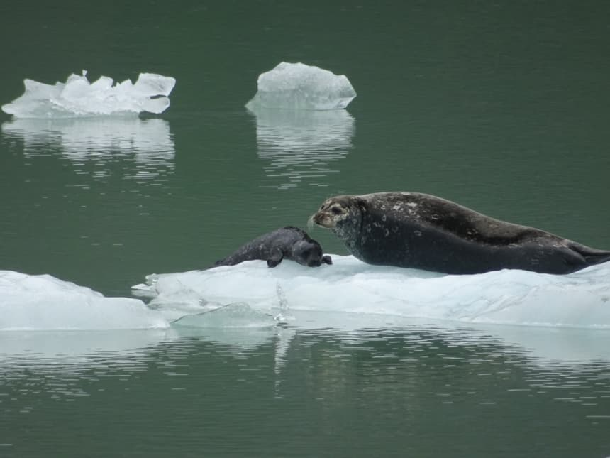 A mama and her baby seal lay on top of a crystal white iceberg that is floating in the dark green waters of Alaska on a small ship cruise aboard the Westward.