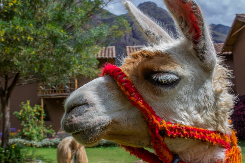 A portrait of a Llama face, it white fur and long ears and eye lashes, a woven red and orange rope hangs around its nose. Seen in the Sacred Valley of Peru on a Machu Picchu land tour.