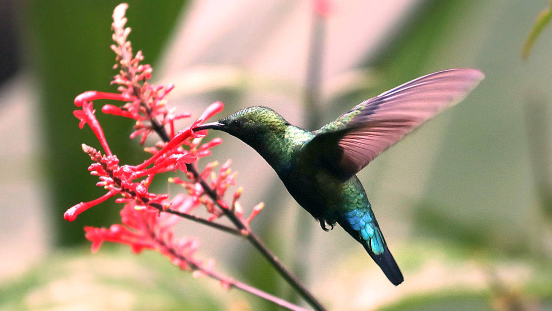 Hummingbird with pink wings, iridescent green head & bright blue tailfeathers drinks nectar from a pink flower during the Pearls of the Caribbean luxury cruise.