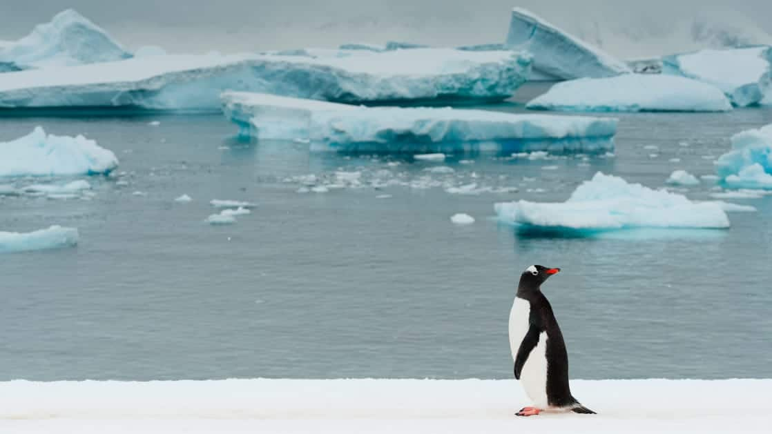 A gentoo penguin stands on shore and looks behind itself with floating blue icebergs in the background during the Spirit of Antarctica expedition.