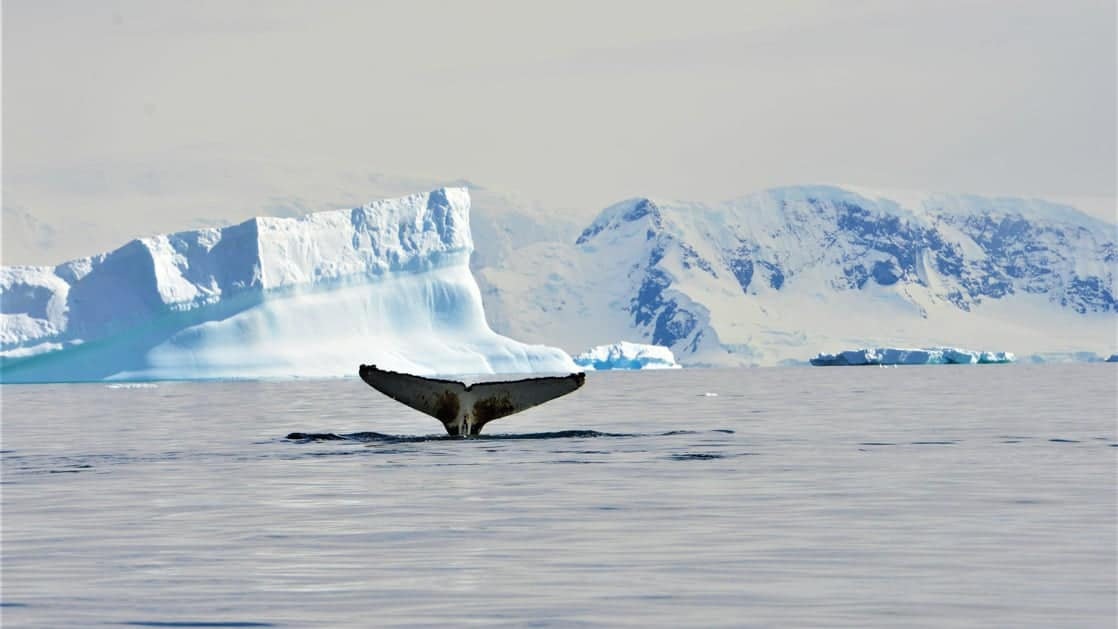 A humpback whale tail sticks out of the water with blue icebergs in the background during the Active & Wild Antarctica Air Cruise.