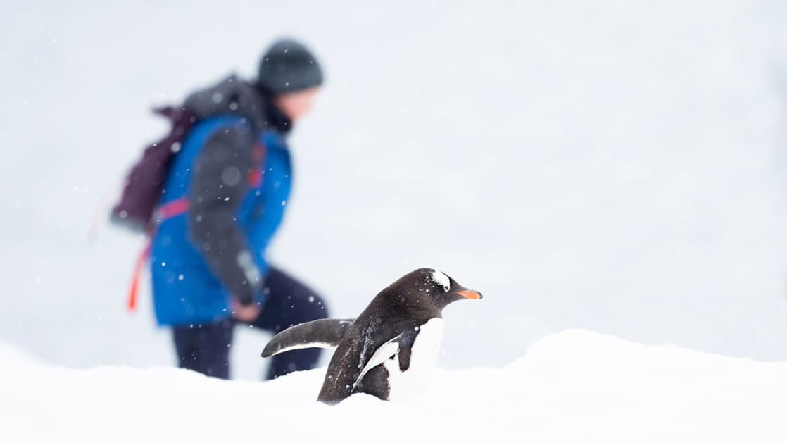 A hiker in a blue-&-gray jacket walks beside a gentoo penguin in a snowy environment during the Active & Wild Antarctica Air Cruise.