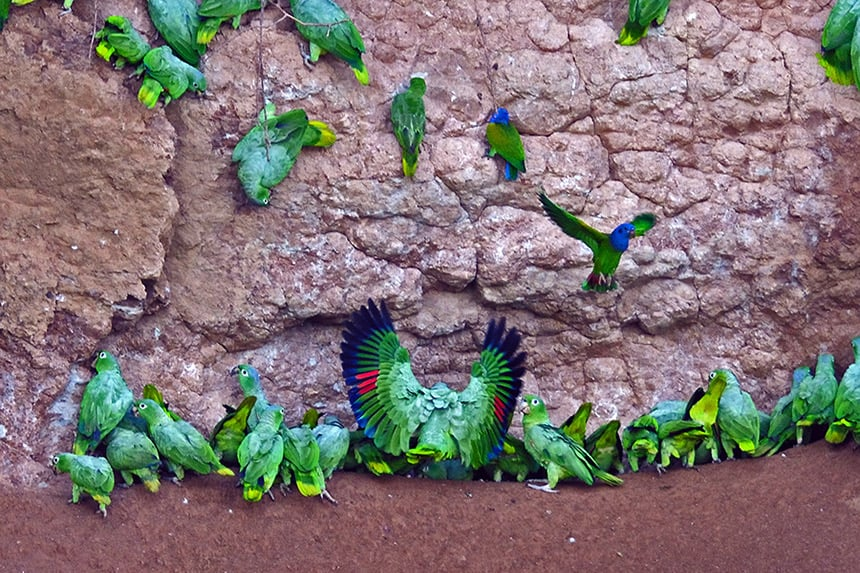 a group of teal yellow and green parrots gather at a clay lick wall in Ecuador, seen at the Napo Wildlife Center