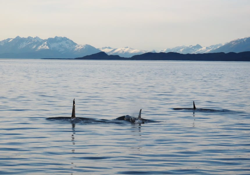 Seen from a small ship in Alaska, three orca break the surface of the water, their tall fins stick up from the water as the sun sets in front of them.