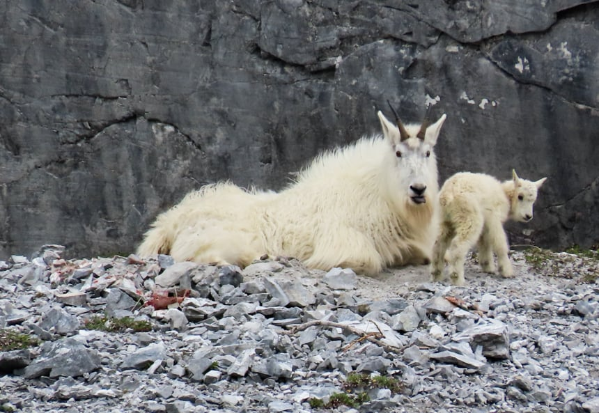 A fuzzy white mother and baby Dall Sheep lay on a grey rocky cliff side in a mountain ranges of Alaska