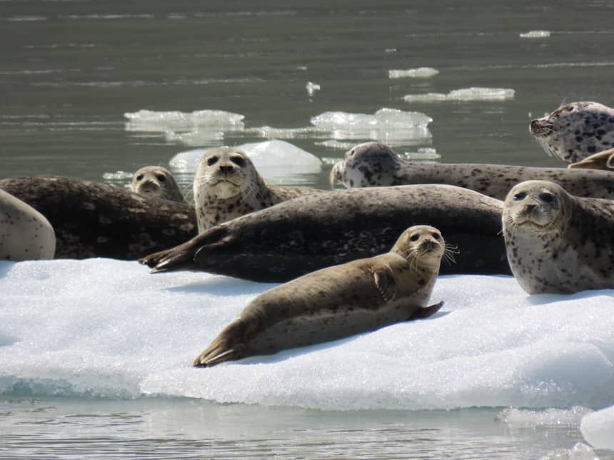 a group of grey spotted seals bask on a white iceberg and were seen on slands whales and glacier small ship cruise