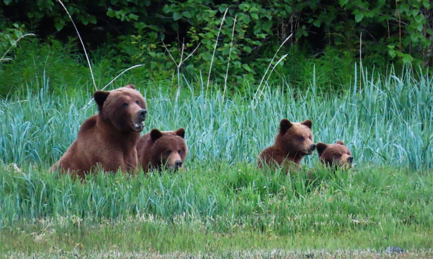 A family of brown bear a bother and her three cubs, sit on an Alaska shoreline of lush green grass, seen from an Alaska Small ship cruise.