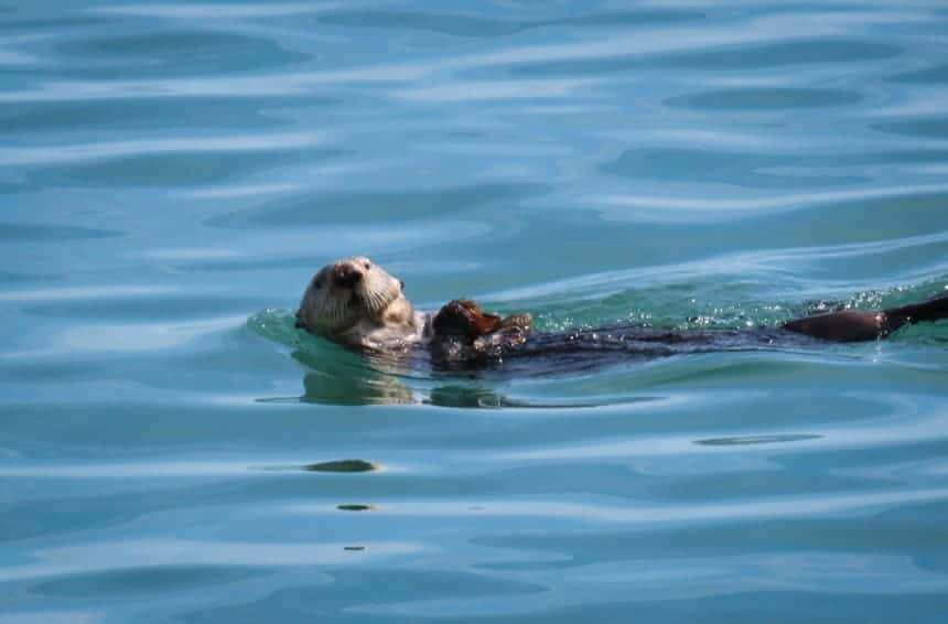 a sea otter floats on its back in teal sea water on an Alaska small ship cruise.