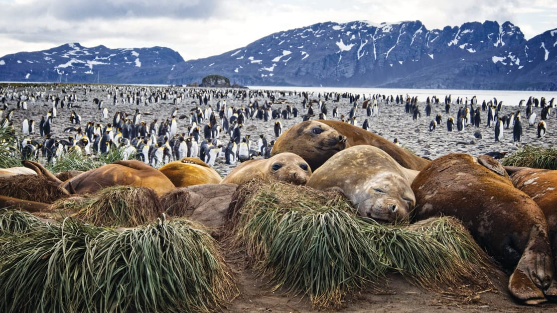 A group of juvenile brown elephant seals sit on grass tussocks while thousands of king penguins walk on the beach behind on a cloudy day during the South Georgia Antarctic Odyssey Cruise.
