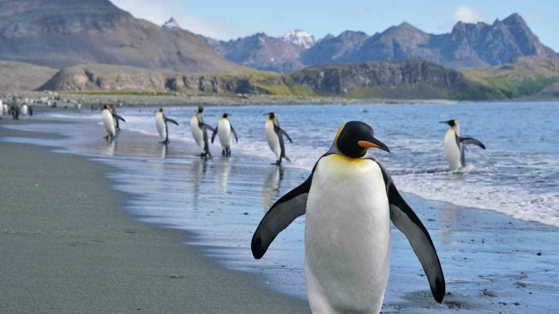 King penguins walk the beach at Salisbury Plain during the South Georgia Antarctic Odyssey Cruise.