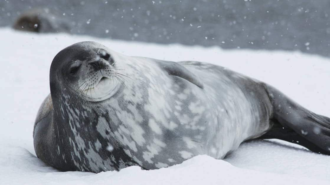 A gray-and-white-speckled weddell seal lays on the snow during the South Georgia Antarctic Odyssey Cruise.