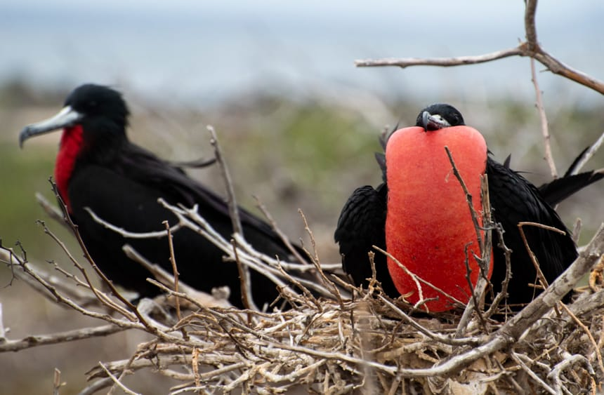 Two frigate birds sit in a nest of branches, one has its bright red chest puffed up, seen on Genovesa Island aboard a Camila Galapagos cruise.