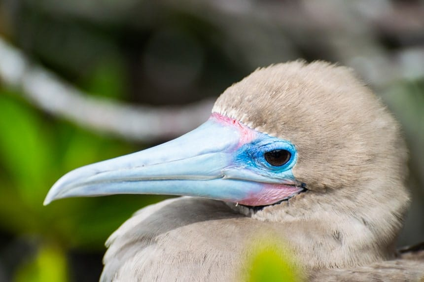 A portrait of a red footed boobie, showing grey brown feathers and a blue and pink long beak, seen on Genovesa Island aboard a Camila Galapagos cruise.
