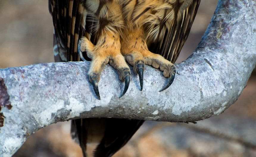 The sharp talons of a short-eared owl grasp onto the trunk of a palo santo tree, seen on Genovesa Island aboard a Camila Galapagos cruise
