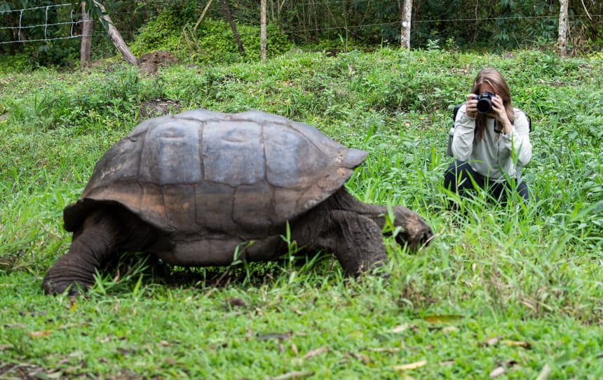 A Galapagos giant tortoise eats lush green grass, beyond it is a guest kneeling down taking a photo, an excursion to the Santa Cruz Highlands on a Camila Galapagos cruise