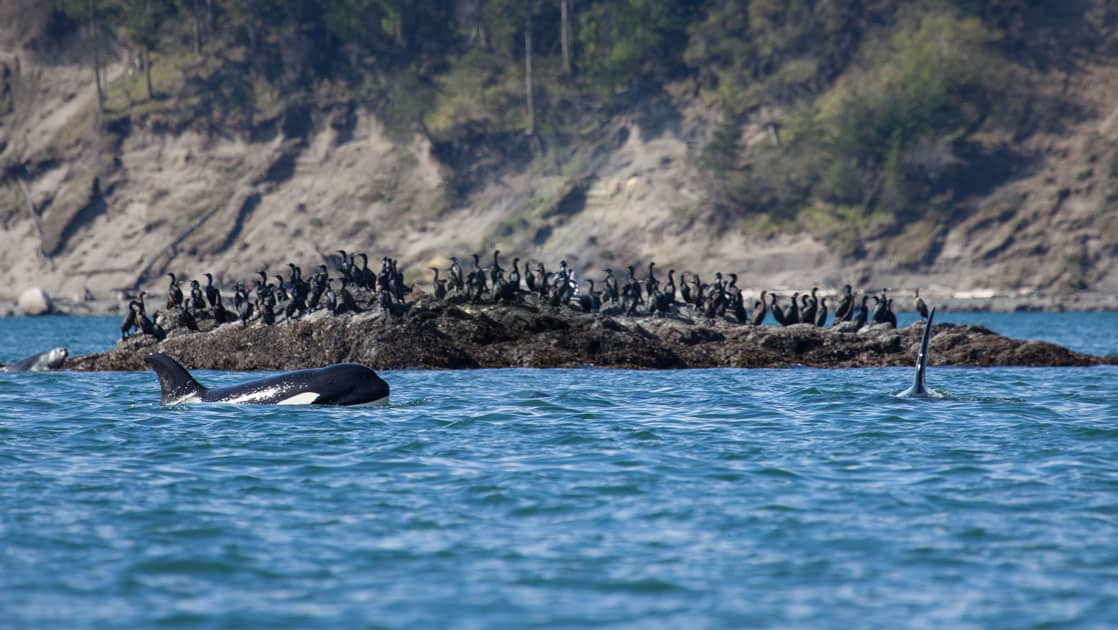 Orcas poke their heads above the water with birds standing on a large rock, behind.