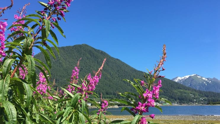 Wild flowers with lake in the background on the north true Alaska cruise from sitka to juneau