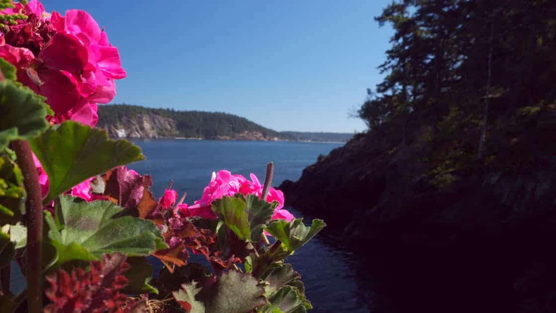 Bright pink geranium flowers look out onto calm seas & tree-lined islands, seen during the Voyage Through the San Juan Islands cruise.