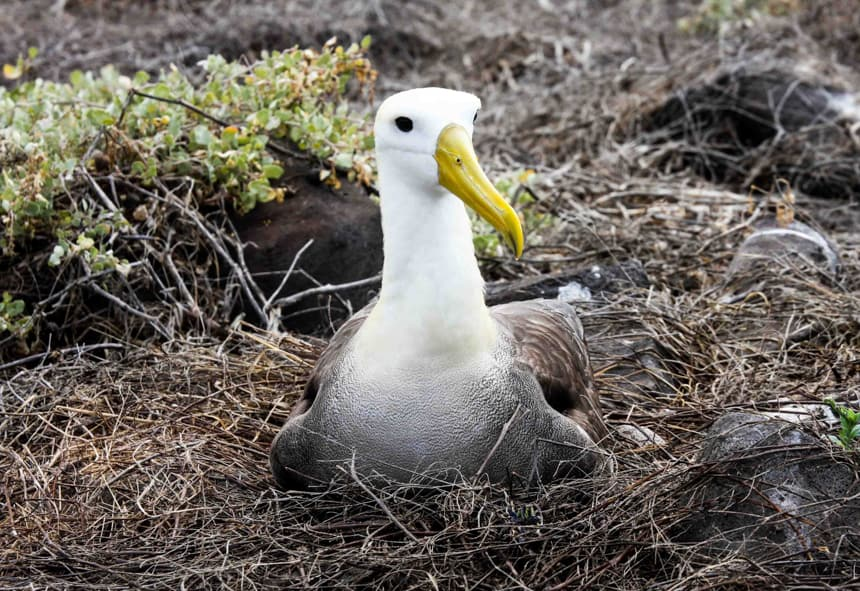 a waved albatross, with a white neck andhead and link bright yellow beak sits in a nest made of sticks, seen from a shore excursion on a Galapagos Islands cruise.