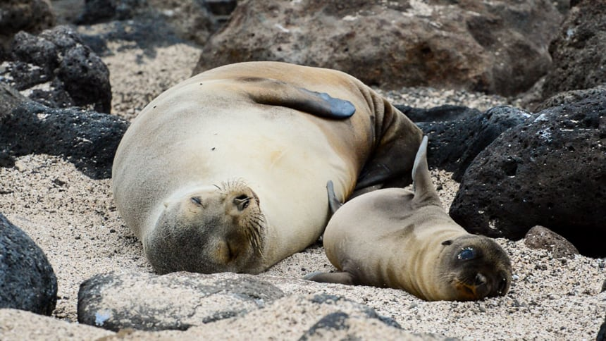 A light tan mother sea lion and her adorable pup basking on a beach in the Galapagos Islands seen from a small ship cruise