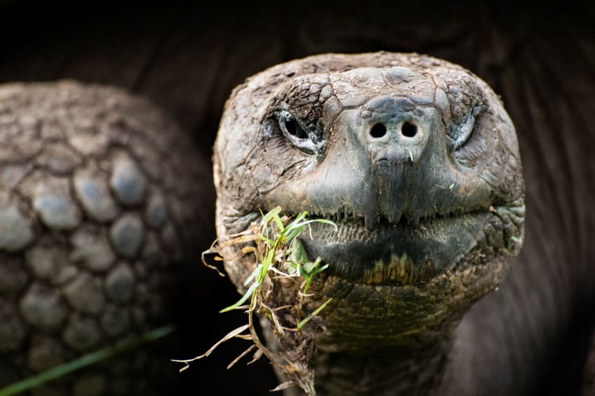 seen at a tortoise reserve in the highlands of Santa Cruz Islands, an up close portrait of the face of a Galapagos Giant tortoise as it eats green grass