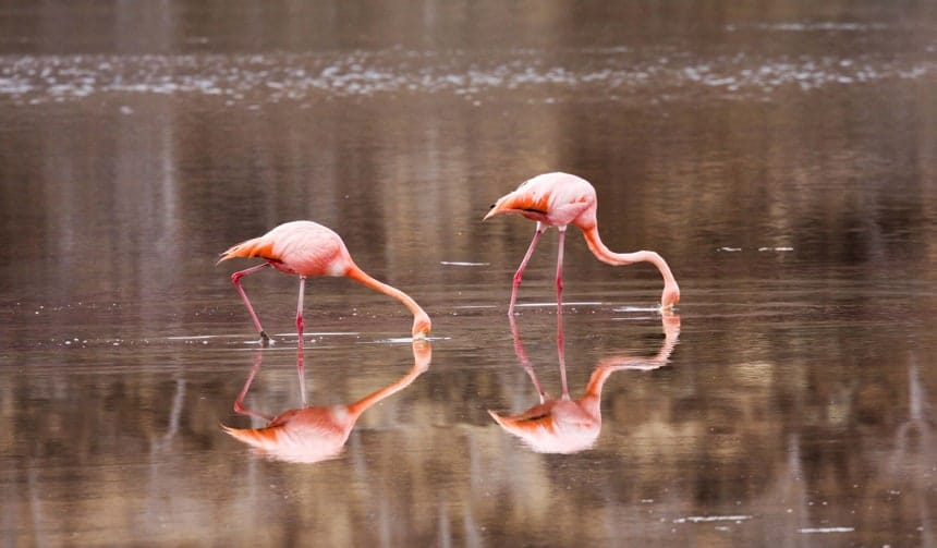 two pink Galapagos flamingos dip their beaks into the water, a perfect reflection of them is shown in the water of a lagoon in the Galapagos Islands